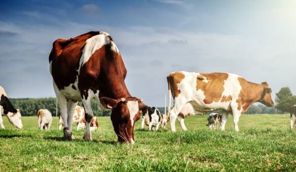 Директни плащания 2019: Наръчник за млечни крави